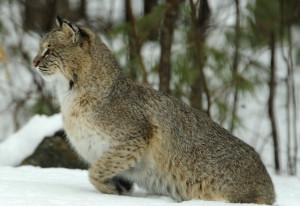 Bobcats: Spared hunting season