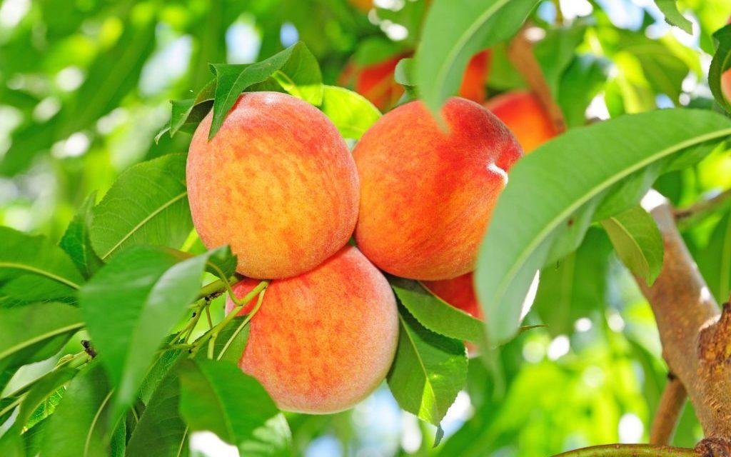 A Planters Sun and Peach Talk
